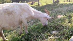 Close-up weinig geit eet gras kudde die van jonge witte goatlings op een groen gazon in het midden van de bergen weiden stock footage