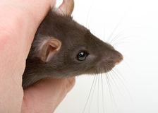 Close-up weinig muisvangst in menselijke hand Stock Afbeeldingen