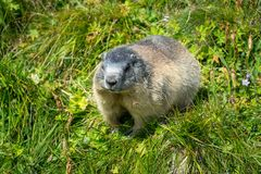 Close up of a well fed marmot on the Grossglockner High Alpine Road. During a Summer holiday trip royalty free stock photos
