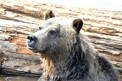 Grouse Mountain Grizzly bear portrait 2, Vancouver, British Columbia, Canada. A close up of a well known Grizzly bear, on Grouse Mountain, in Vancouver royalty free stock images