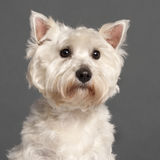 Close-up of West Highland White Terrier Stock Photography