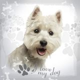 Close-up of a West Highland White Terrier panting, 18 months old. On designed background royalty free stock photos