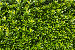 Close up West Indian Jasmine. Top Royalty Free Stock Image