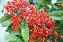 Close up west indian jasmine Stock Photography