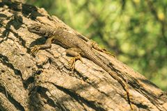 Western Fence Lizard royalty free stock photos