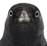Close-up of a Western Jackdaw, Corvus monedula Stock Images