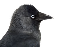 Close-up of a Western Jackdaw, Corvus monedula Stock Photo