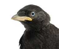Close up of a Western Jackdaw, Western Jackdaw, Corvus monedula, 20 days old Royalty Free Stock Photography
