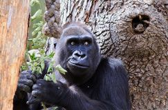 Close up of a western lowland gorilla with a large tree background stock photography