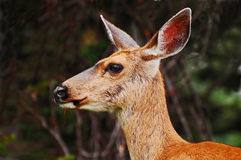 Close-up of western mule deer Royalty Free Stock Photography