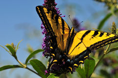 Western Tiger Swallowtail Papilio rutulus Butterfly on Butterfly Bush stock photo