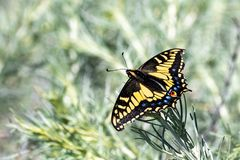 Close up of Western Tiger Swallowtail Papilio rutulus resting on a green plant, San Francisco bay area, California stock photography
