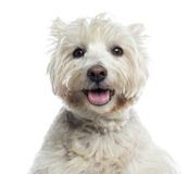 Close-up of a Westhighland White Terrier panting, isolated Stock Photography