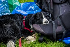 Close-up of a wet border collie. A wet broder collie resting near the rucksack after the rain at hiking travel Royalty Free Stock Photography