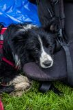Close-up of a wet border collie. A wet broder collie resting near the rucksack after the rain at hiking travel Royalty Free Stock Photo