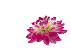 Close-up of wet dahlia (georgina) Stock Photo