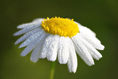 Close up of wet daisy Stock Photos