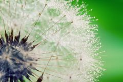 Close-up of wet dandelion Stock Images