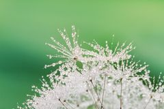 Close-up of wet dandelion Stock Image