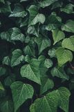 Close-up Of Wet Ivy Leaves royalty free stock image