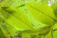 Close-up of the wet leaves. Close-up of several wet leaves behind the glass Royalty Free Stock Photos
