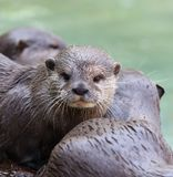 Close up of a wet Oriental Short Clawed Otter Stock Photo