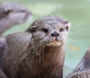 Close up of a wet Oriental Short Clawed Otter Royalty Free Stock Photos