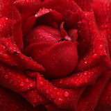 Close up wet red rose Stock Images