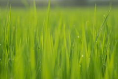 Close up the wet rice fields in green agricultural garden. Close up the wet rice fields in green agricultural garden Stock Photos