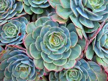 Succulent Details. Close up of wet succulents with bright fringes just after rain Stock Image