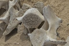 Close up of whale bones stock photography