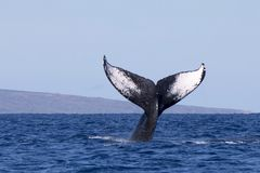 Close Up Whale Tail Diving into Ocean. Close up humpback whale tail with black and white marking on tail and island in background Stock Photos