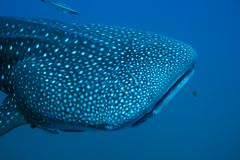 Close-up of Whaleshark royalty free stock image