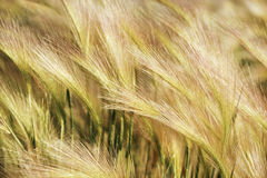Close Up of Wheat. Tassels in field Stock Photo