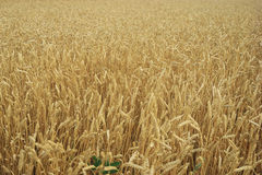 Close up of Wheat Royalty Free Stock Image