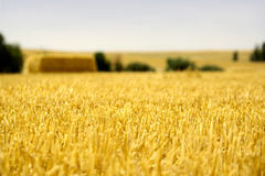 close up wheat Στοκ Εικόνες