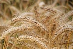 Close-up of Wheat Stock Photos