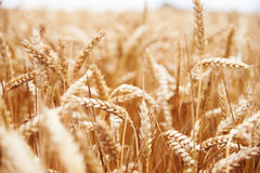 Close Up Of Wheat Crop Growing In Field Royalty Free Stock Photography