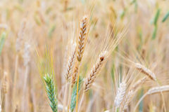 Close up of wheat ear Royalty Free Stock Image