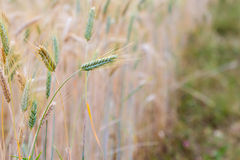 Close up of wheat ear Royalty Free Stock Photo