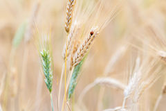 Close up of wheat ear and ladybug Stock Images