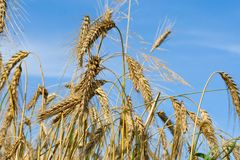 Close-up wheat ears Royalty Free Stock Photo