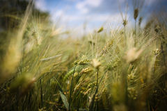 Close up with wheat ears Royalty Free Stock Image