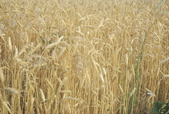 Close up of wheat field Stock Photo