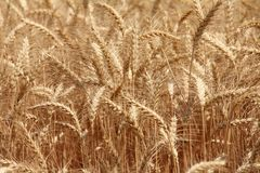 Close up of a Wheat field Stock Photography