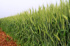 Close up of wheat field. Close up of light green wheat field with brown soil royalty free stock photo