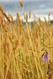 Close-up of wheat field Royalty Free Stock Image