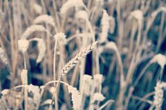 Close-up of Wheat Field Royalty Free Stock Images