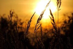 Close-up of Wheat Field Against Sky at Sunset Stock Photo