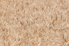 Close up of a wheat field Stock Photo